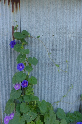 morning glories and metal
