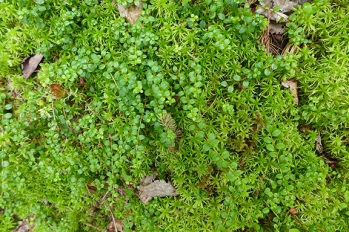 peat moss and creeping snowberry