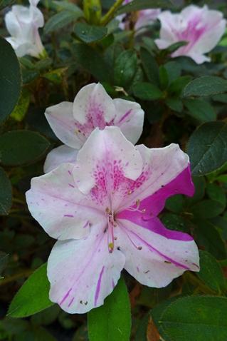 Re-blooming azalea