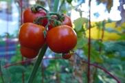 A few tomatoes