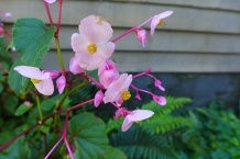 hearty begonia