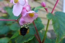 bumble bee and begonia