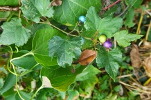 Amur peppervine: pretty berries, but an incredibly bad and invasive vine