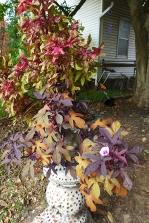 coleus and decorative sweet potato