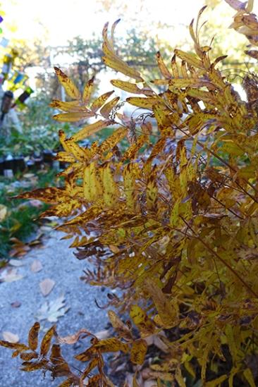 royal fern in the west garden