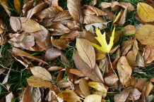 magnolia leaves and a maple