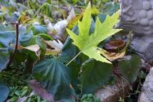 maple leaf on the frozen sweet potatoes