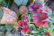 fading blanket flower