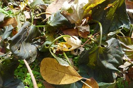 frozen sweet potatoes under leaves