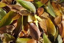 frozen magnolia leaves