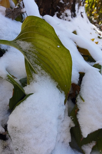 snowy hosta