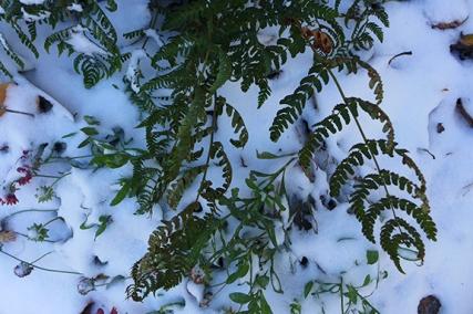 ferns in the west garden