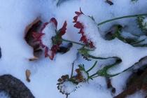 snowy blanket flowers