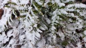 snowy ferns